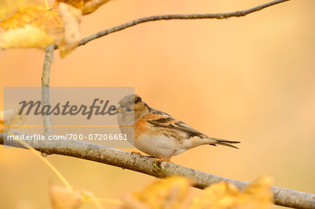 Portrait of Brambling (Fringilla montifringilla) in Autumn, Bavarian Forest National Park, Bavaria, Germany Stock Photo - Rights-Managed, Image code: 700-07206651