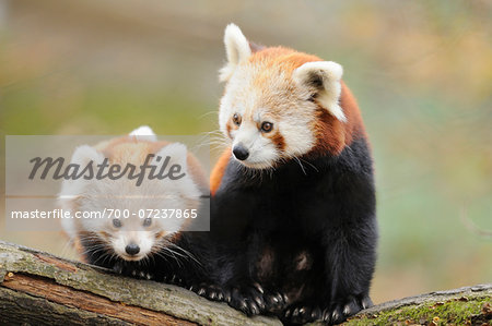 Red Panda (Ailurus fulgens) Mother with Young on bough, Bavaria, Germany Stock Photo - Rights-Managed, Image code: 700-07237865