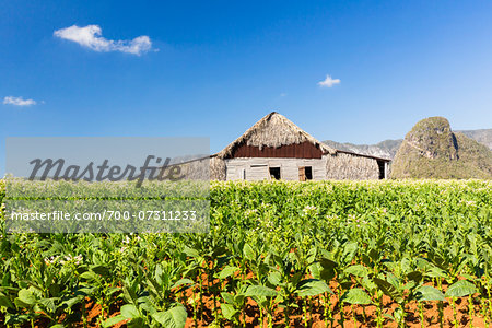 Tobacco Field and Tobacco Barn, Vinales National Park, Pinar del Rio Province, Cuba Stock Photo - Rights-Managed, Image code: 700-07311233