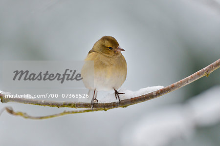 Female Chaffinch (Fringilla coelebs) in Winter, Neuschonau, Bavarian Forest National Park, Bavaria, Germany Stock Photo - Rights-Managed, Image code: 700-07368526