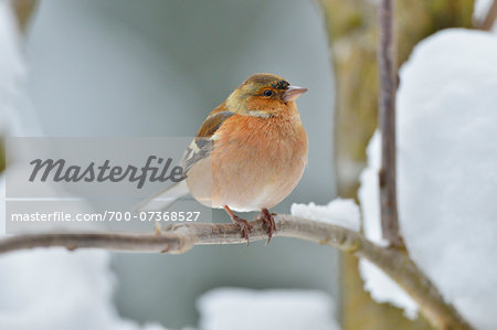 Male Chaffinch (Fringilla coelebs) in Winter, Neuschonau, Bavarian Forest National Park, Bavaria, Germany Stock Photo - Rights-Managed, Image code: 700-07368527