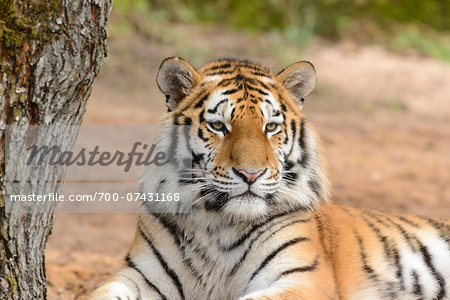Portrait of Siberian Tiger (Panthera tigris altaica), Bavaria, Germany Stock Photo - Rights-Managed, Image code: 700-07431168