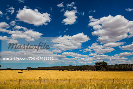 Cow in Field, Colac, Victoria, Australia Stock Photo - Rights-Managed, Image code: 700-07453651