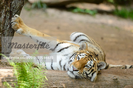 Close-up portrait of a Siberian tiger (Panthera tigris altaica) lying on ground in a zoo in spring, Bavaria, Germany Stock Photo - Rights-Managed, Image code: 700-07584673