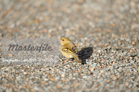 Close-up of a Common Chaffinch (Fringilla coelebs) on a road in spring, Bavaria, Germany Stock Photo - Rights-Managed, Image code: 700-07672031