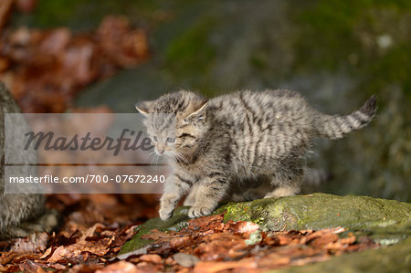 Portrait of European Wildcat (Felis silvestris silvestris) Kitten in Forest in Spring, Bavarian Forest National Park, Bavaria, Germany Stock Photo - Rights-Managed, Image code: 700-07672240