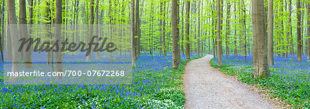 Path winding through a European beech forest (Fagus sylvatica) and bluebells (Hyacinthoides non-scripta) in the spring, Hallerbos, Belgium Stock Photo - Rights-Managed, Image code: 700-07672268