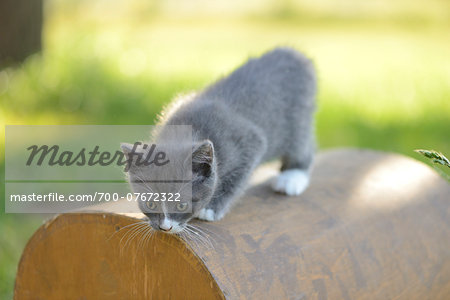 Close-up of a domestic cat (Felis silvestris catus) kitten in spring, Bavaria, Germany Stock Photo - Rights-Managed, Image code: 700-07672322