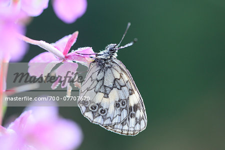 Close-up of Marbled White Butterfly (Melanargia galathea) on Fireweed  (Chamerion angustifolium) Blossom in Meadow in Early Summer, Bavaria, Germany Stock Photo - Rights-Managed, Image code: 700-07707670