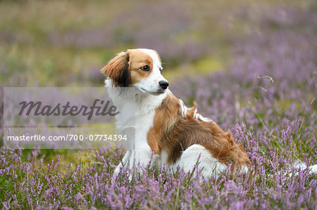 Close-up portrait of a Kooikerhondje puppy sitting in an erica meadow in summer, Upper Palatinate, Bavaria, Germany Stock Photo - Rights-Managed, Image code: 700-07734394