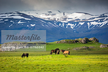 Icelandic horses in pasture with mountains in the background, at Hofn, Iceland Stock Photo - Rights-Managed, Image code: 700-07760042