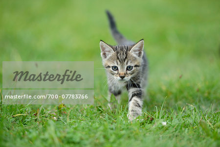 Close-up of a domestic cat (Felis silvestris catus) kitten on a meadow in summer, Upper Palatinate, Bavaria, Germany Stock Photo - Rights-Managed, Image code: 700-07783766