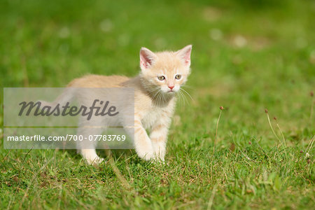 Close-up of a domestic cat (Felis silvestris catus) kitten on a meadow in summer, Upper Palatinate, Bavaria, Germany Stock Photo - Rights-Managed, Image code: 700-07783769