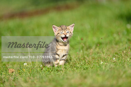 Close-up of Domestic Cat (Felis silvestris catus) Kitten on Meadow in Summer, Bavaria, Germany Stock Photo - Rights-Managed, Image code: 700-07783966