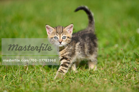 Close-up of Domestic Cat (Felis silvestris catus) Kitten on Meadow in Summer, Bavaria, Germany Stock Photo - Rights-Managed, Image code: 700-07783968