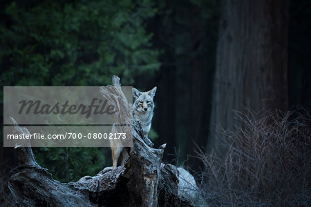 Wild Coyote, Yosemite National Park, California, USA. Stock Photo - Rights-Managed, Image code: 700-08002173