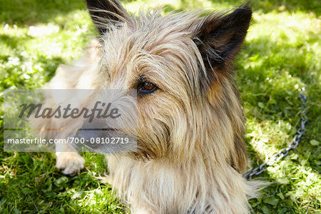 Close-up portrait of Carin terrier dog lying in grass in the backyard in summer, Abruzzo, Italy Stock Photo - Rights-Managed, Image code: 700-08102719