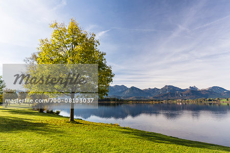 Tree by Lakeshore in Autumn, Lake Hopfensee, Swabia, Bavaria, Germany Stock Photo - Rights-Managed, Image code: 700-08103037