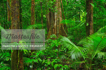 Rainforest, Daintree Rainforest, Mossman Gorge, Daintree National Park, Queensland, Australia Stock Photo - Rights-Managed, Image code: 700-08146037