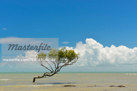 Mangrove Tree in Sea, Clairview, Isaac Region, Queensland, Australia Stock Photo - Rights-Managed, Image code: 700-08146062