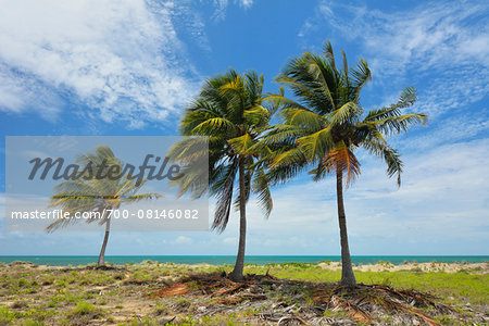 Coconut Palms on Coast in Summer, Queens Beach, Bowen, Queensland, Australia Stock Photo - Rights-Managed, Image code: 700-08146082