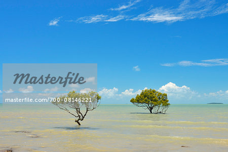 Mangrove Trees in Sea, Clairview, Queensland, Australia Stock Photo - Rights-Managed, Image code: 700-08146221