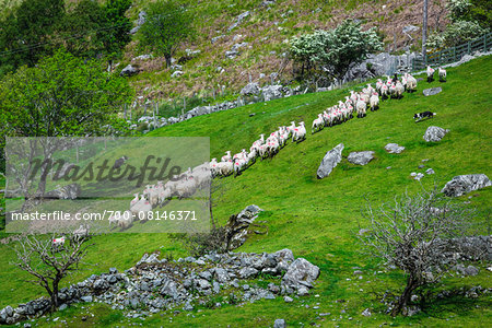 Sheep being rounded up by sheep dogs near Moll's Gap, along the Ring of Kerry, County Kerry, Ireland Stock Photo - Rights-Managed, Image code: 700-08146371