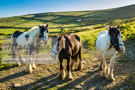 Horses at St Finian's Bay, along the Skellig Coast on the Ring of Kerry, County Kerry, Ireland Stock Photo - Rights-Managed, Image code: 700-08146393