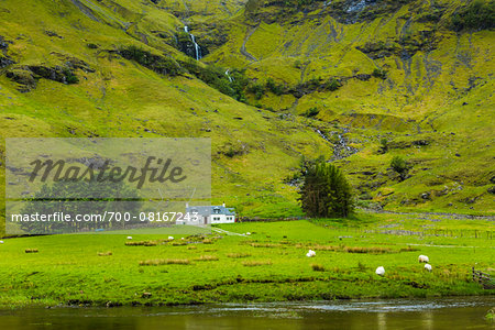 Sheep in Field, Scottish Highlands near Glencoe, Scotland, United Kingdom Stock Photo - Rights-Managed, Image code: 700-08167243