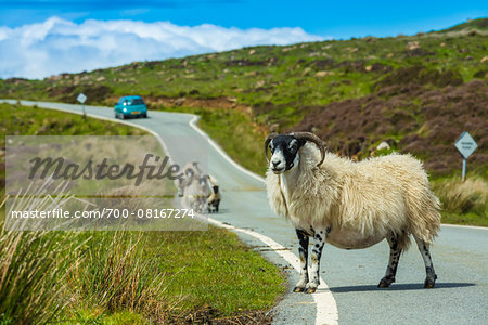 Sheep on Road near Flodigarry, Trotternish, Isle of Skye, Scotland, United Kingdom Stock Photo - Rights-Managed, Image code: 700-08167274