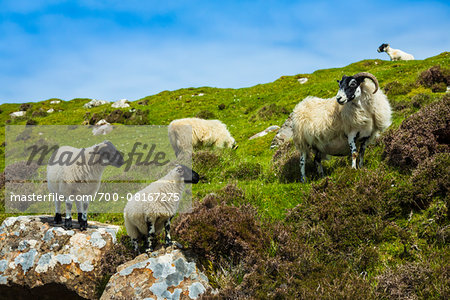 Sheep near Flodigarry, Trotternish, Isle of Skye, Scotland, United Kingdom Stock Photo - Rights-Managed, Image code: 700-08167275