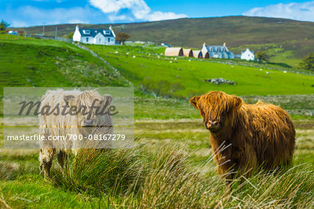 Highland Cattle, Kilmaluag, Trotternish, Isle of Skye, Scotland, United Kingdom Stock Photo - Rights-Managed, Image code: 700-08167279