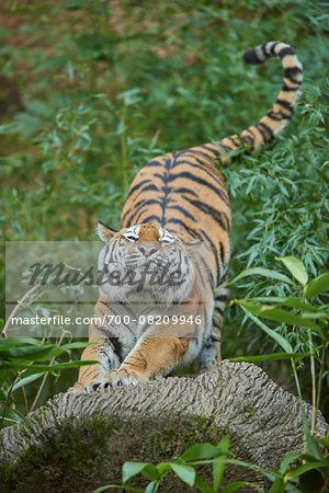 Close-up of a Siberian tiger (Panthera tigris altaica) stretching, in late summer, Germany Stock Photo - Rights-Managed, Image code: 700-08209946