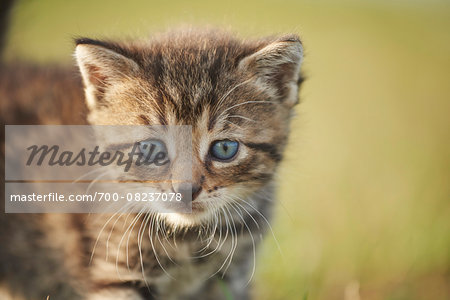 Portrait of Five Week Old Domestic Kitten (Felis silvestris catus) on Meadow in Late Summer, Upper Palatinate, Bavaria, Germany Stock Photo - Rights-Managed, Image code: 700-08237078