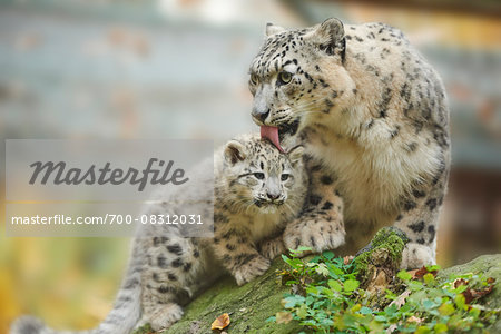 Portrait of Mother Snow Leopard (Panthera uncia) with Cub in Autumn, Germany Stock Photo - Rights-Managed, Image code: 700-08312031