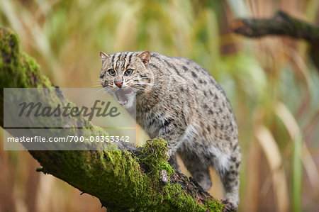 Portrait of Fishing Cat (Prionailurus viverrinus) in Autumn, Germany Stock Photo - Rights-Managed, Image code: 700-08353342