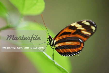 Close-up of a Tiger Longwing (Heliconius hecale) Stock Photo - Rights-Managed, Image code: 700-08386095