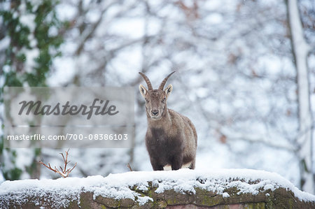 Close-up portrait of an Alpine ibex (Capra ibex) on a snowy winter day, Bavaria, Germany Stock Photo - Rights-Managed, Image code: 700-08386103