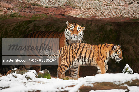 Close-up of a Siberian tiger (Panthera tigris altaica) mother with young cub in cave with snow in winter Stock Photo - Rights-Managed, Image code: 700-08386104