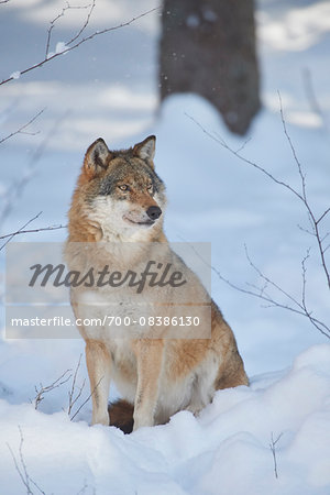 Close-up portrait of a Eurasian wolf (Canis lupus lupus) on a snowy winter day, Bavarian Forest, Bavaria, Germany Stock Photo - Rights-Managed, Image code: 700-08386130