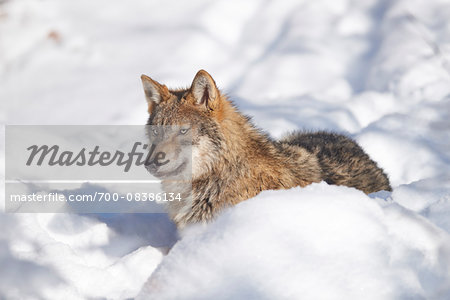 Close-up portrait of a Eurasian wolf (Canis lupus lupus) on a snowy winter, Bavarian Forest, Bavaria, Germany Stock Photo - Rights-Managed, Image code: 700-08386134