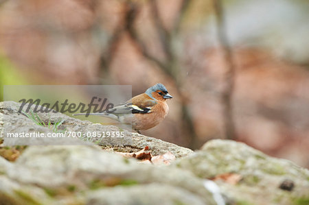 Close-up of Common Chaffinch (Fringilla coelebs) in Bavarian Forest in Spring, Bavaria, Germany Stock Photo - Rights-Managed, Image code: 700-08519395