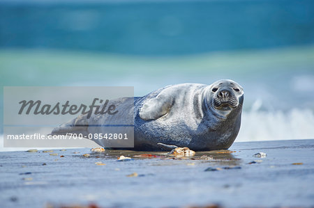 Close-up of Eastern Atlantic harbor seal (Phoca vituliana vitulina) in spring (april) on Helgoland, a small Island of Northern Germany Stock Photo - Rights-Managed, Image code: 700-08542801