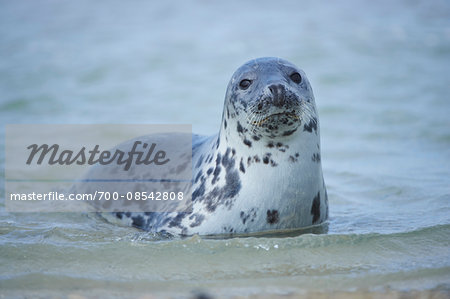 Close-up of Eastern Atlantic harbor seal (Phoca vituliana vitulina) in spring (april) on Helgoland, a small Island of Northern Germany Stock Photo - Rights-Managed, Image code: 700-08542808