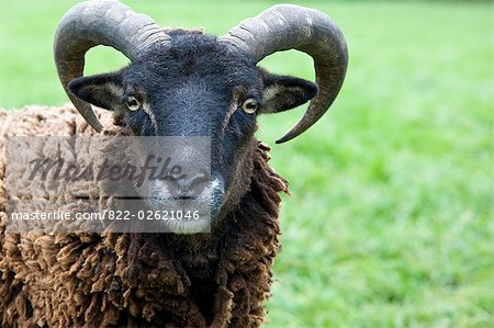 Close up of a ram Stock Photo - Rights-Managed, Image code: 822-02621046