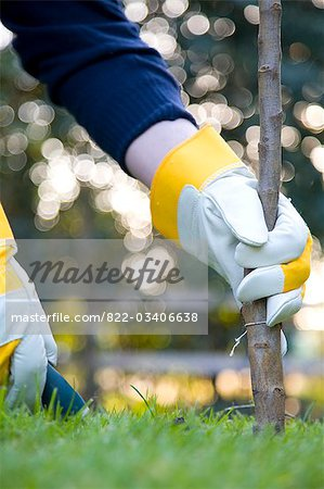 Close up of a man's hand planting a tree Stock Photo - Rights-Managed, Image code: 822-03406638