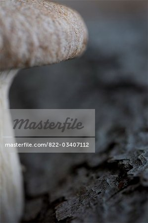 Extreme close up of an eryngi mushroom Stock Photo - Rights-Managed, Image code: 822-03407112