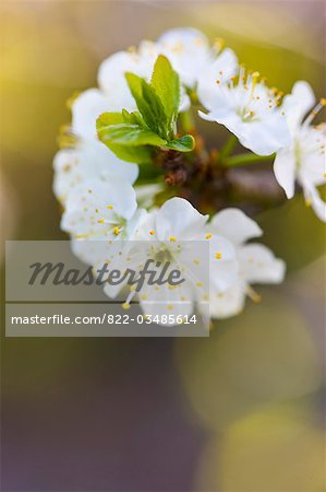 Apple blossom Stock Photo - Rights-Managed, Image code: 822-03485614