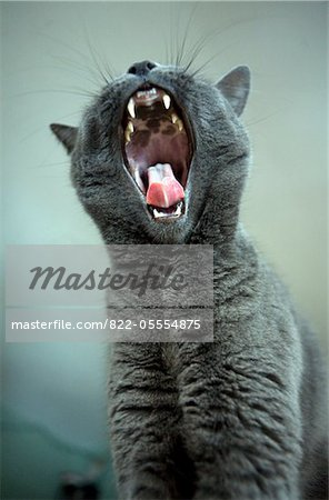 Cat Yawning with Tongue Sticking Out Stock Photo - Rights-Managed, Image code: 822-05554875