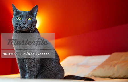 Cat Sitting on Bed Stock Photo - Rights-Managed, Image code: 822-07355664